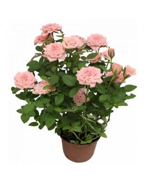 Roseira P13